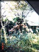 古い家の庭のけやき。西日を遮るほどに大きくなっていた。