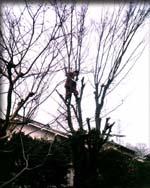何年もの間伸びっ放しだったけやきの枝を鳶に切ってもらう。いよいよ解体に入る。